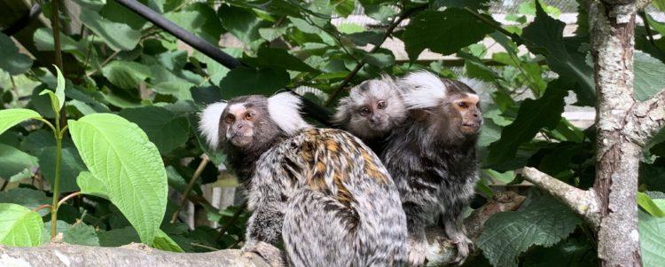 Social Media Platforms such as TikTok & Facebook Glorify the Trade in Baby Monkeys in UK