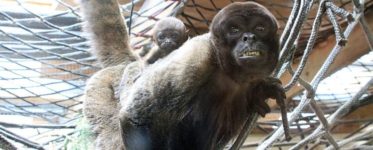 New arrivals in the woolly monkey house!