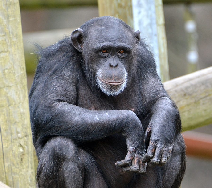 Hananya's Chimpanzees - Monkey World