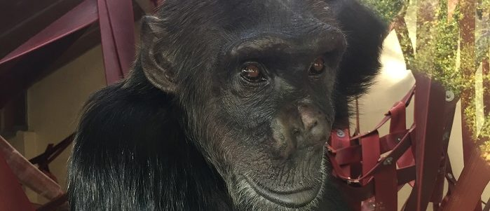 Smuggled chimpanzee Naree is rehomed to UK rescue centre, Monkey World, with help of Thai Government on eve of Illegal Wildlife Trade conference.