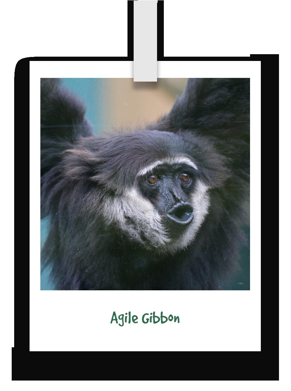 agile-gibbon