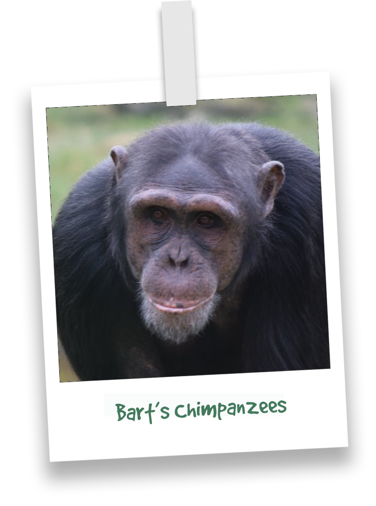 bart's chimpanzees