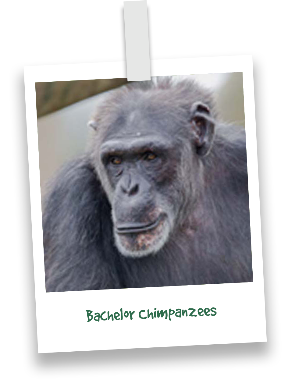 butchs-chimpanzees