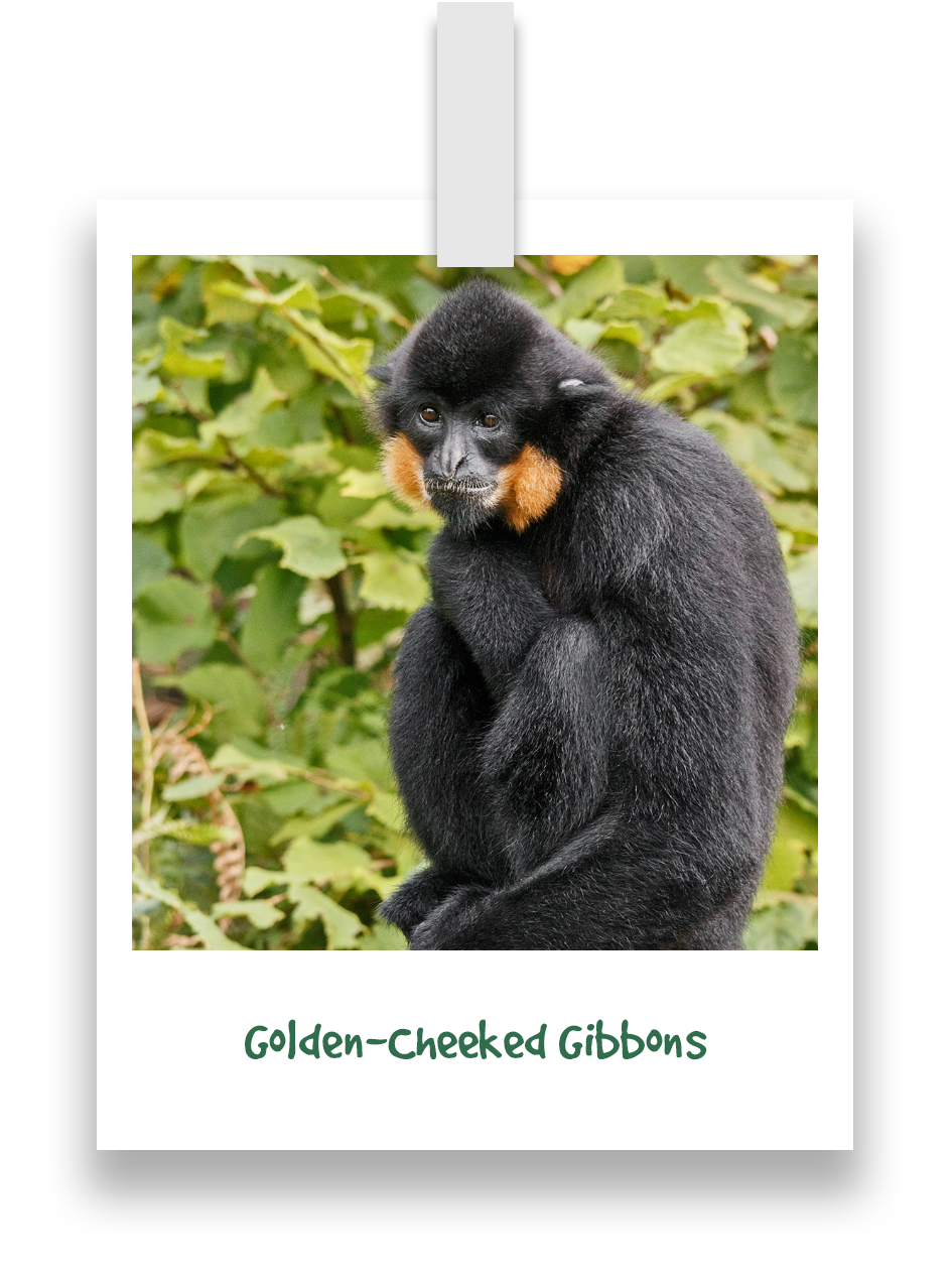 golden-cheeked-gibbons