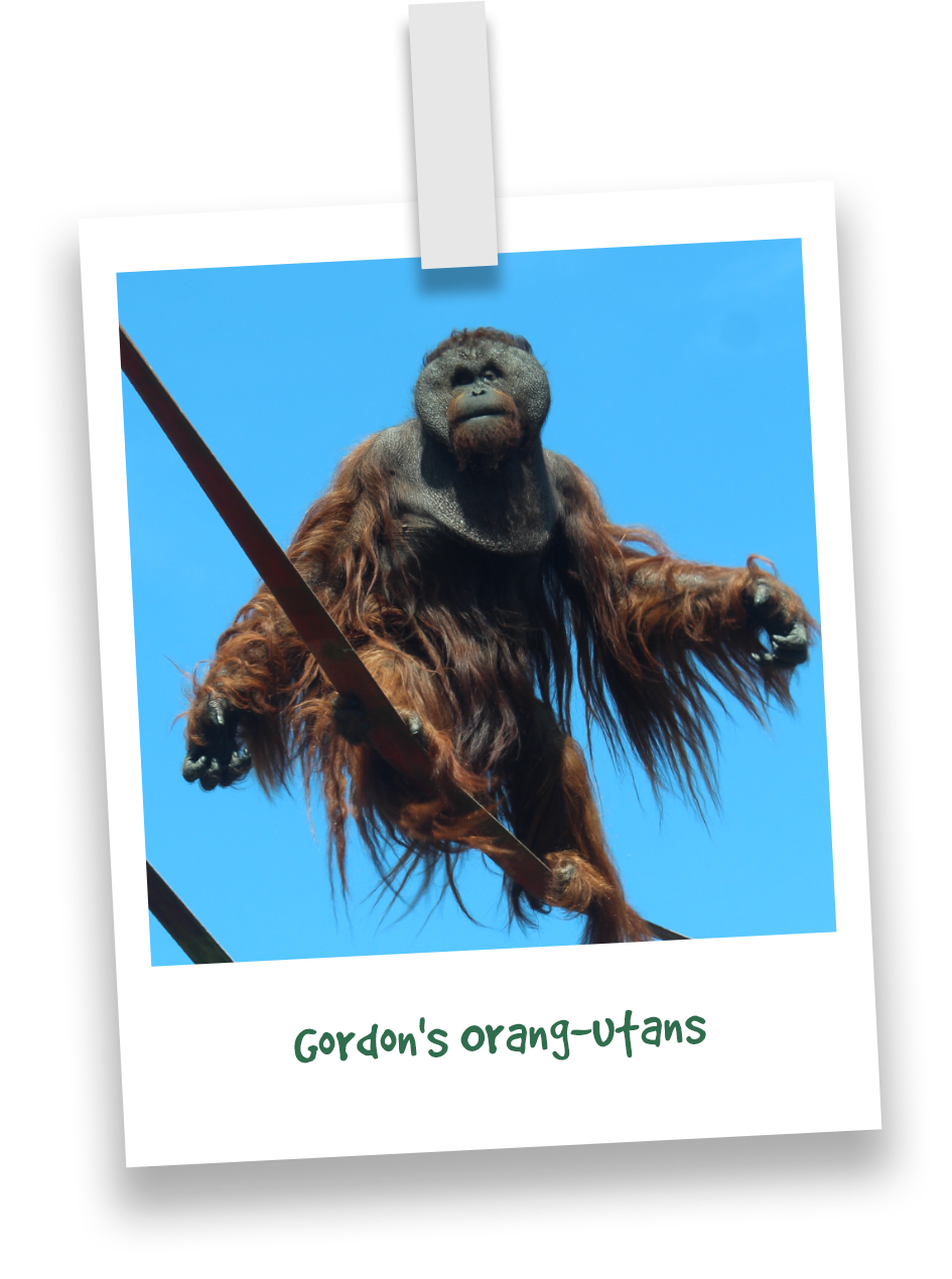 gordons-orang-utans