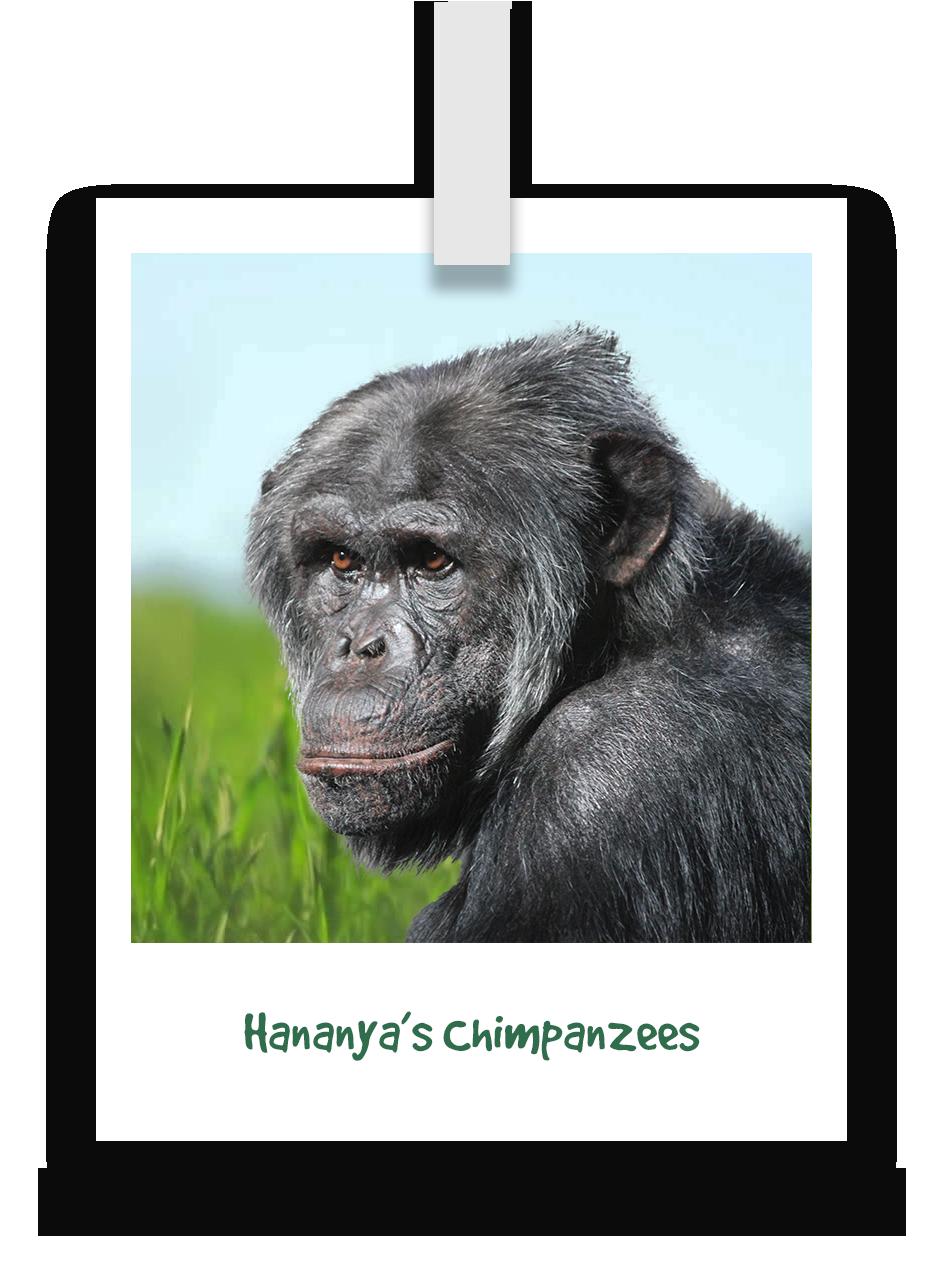 hananyas-chimpanzees