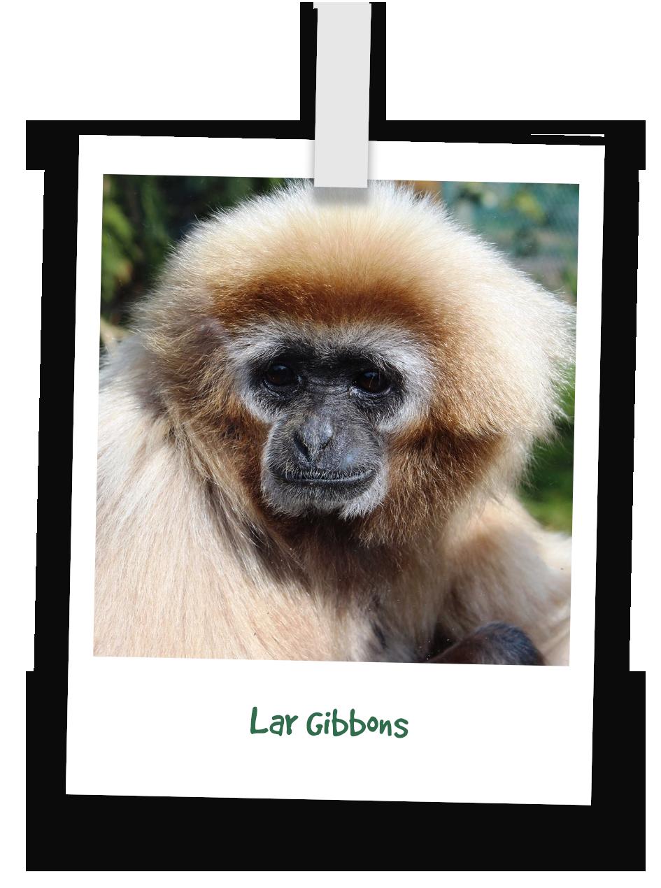 lar-gibbons