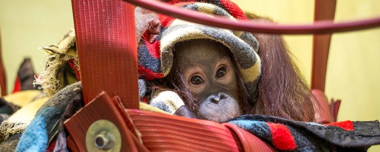 Monkey World Moves Infant Orang-Utan To Europe's Only Orang-Utan Crèche With VIP Status Throughout The Journey