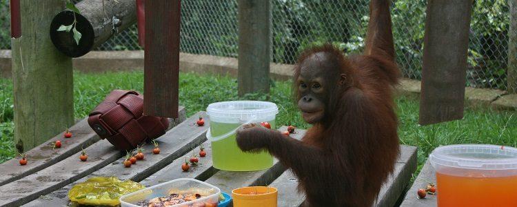 Orphaned orangutan Mimi turns 3 at Monkey World!
