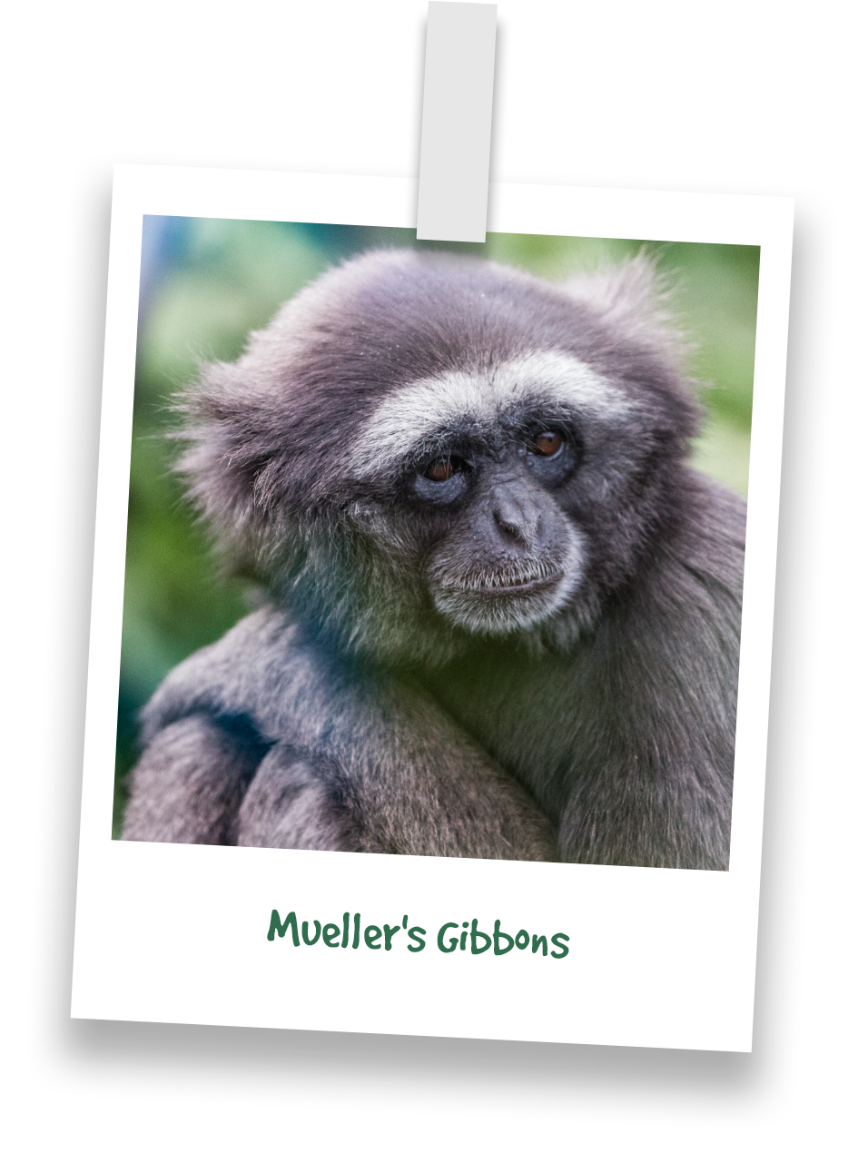 muellers-gibbons