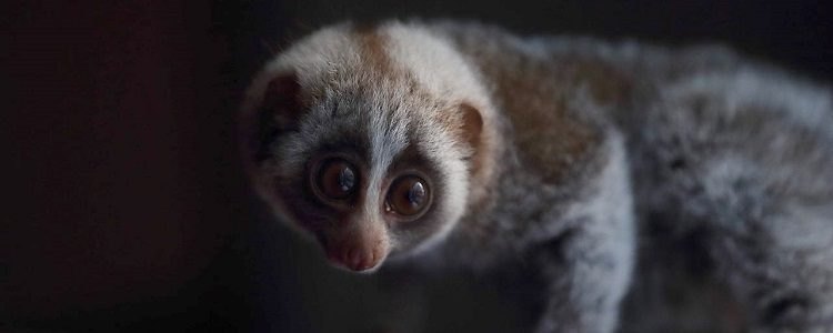 Illegal slow loris trade speeding up, as Monkey World rescues another infant from black market in Lebanon