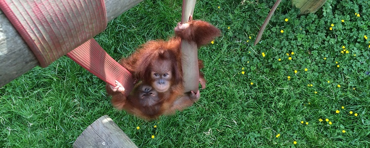 Orphan Orang-Utans Join Adoptive Nursery Family At Monkey World
