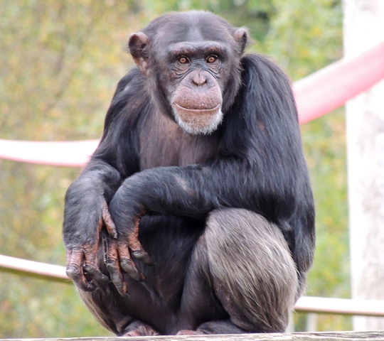 Hananya's Chimpanzees - Monkey World